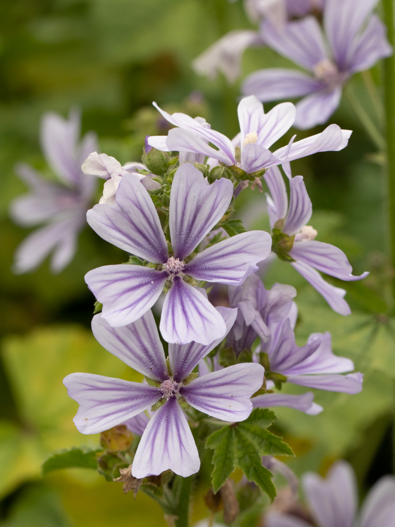 Malva sylvestris 'Blue Fountain ®' (Wild-Malve)