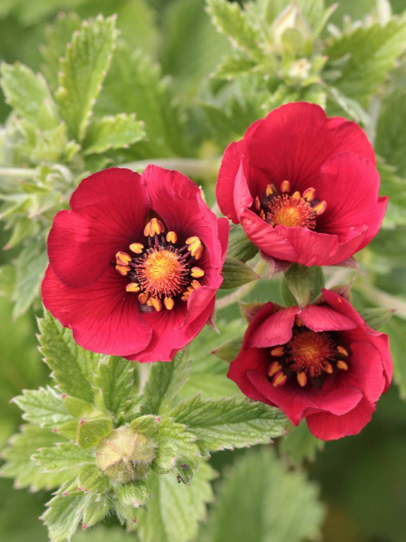 Potentilla cultorum 'Flamenco' (Fingerkraut)