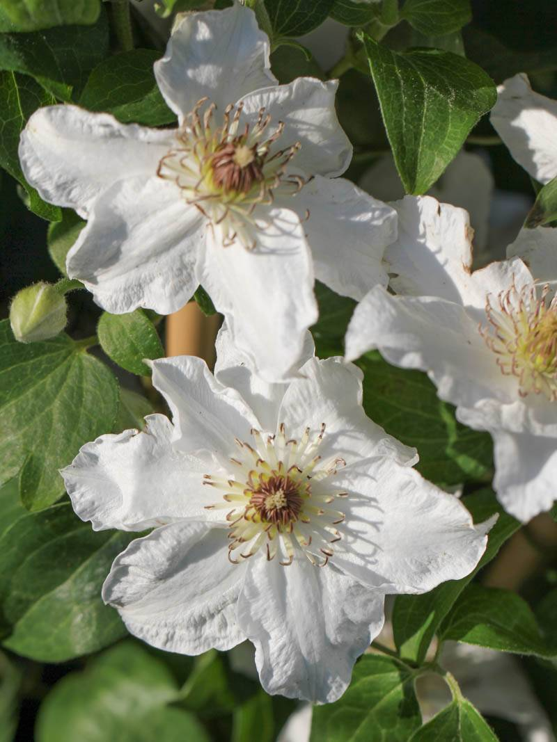 Clematis cultorum 'Destiny' (Waldrebe)