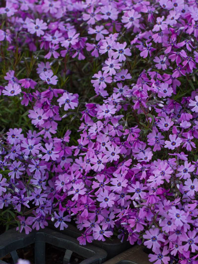 Stauden Stade Versand Shop Phlox subulata Purple Beauty