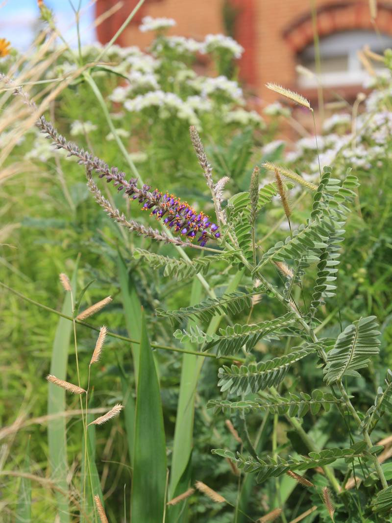 Amorpha canescens (Bleiwurz)