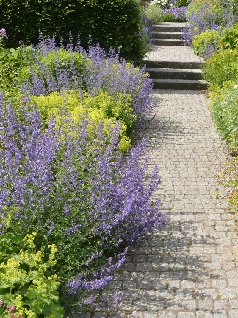 Nepeta faassenii 'Walkers Low' Katzenminze