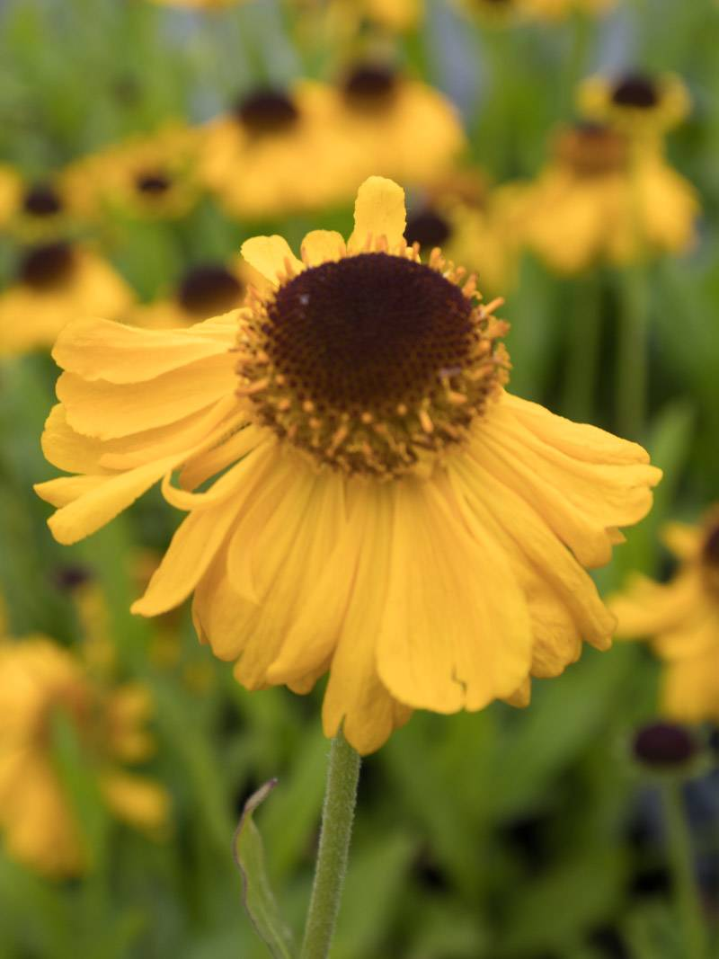 Helenium bigelovii 'The Bishop' Sonnenbraut