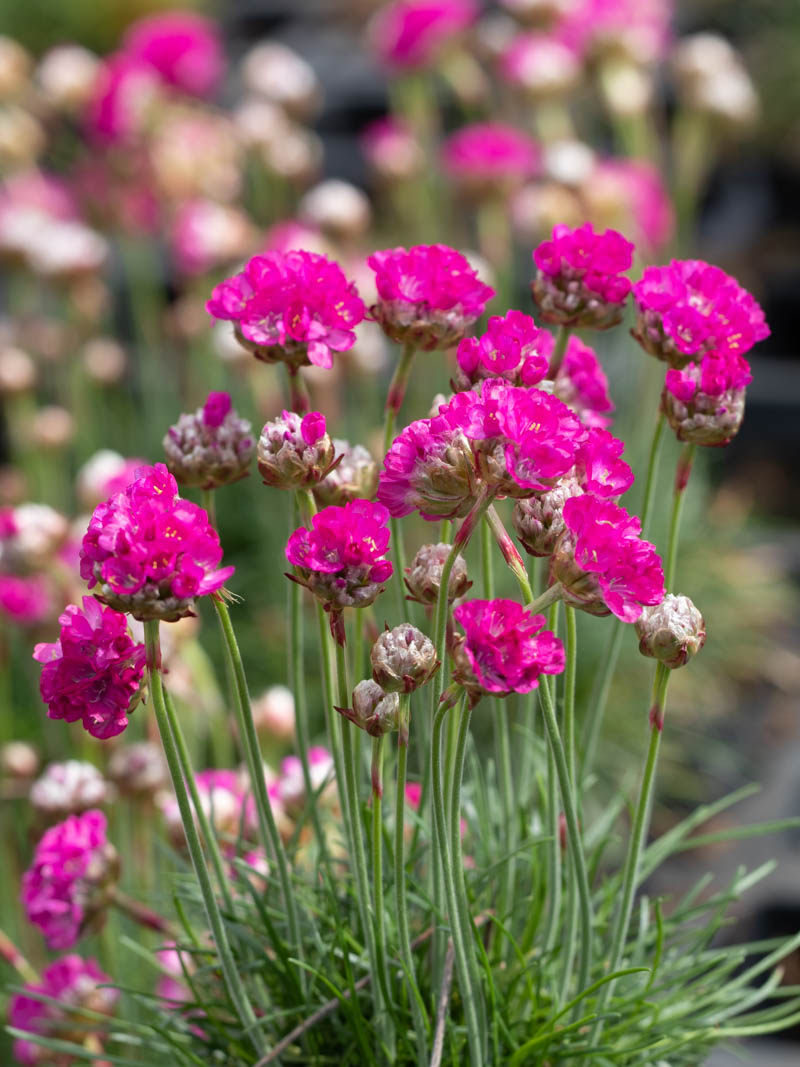 Armeria maritima 'Morning Star Deep Rose' (Grasnelke)