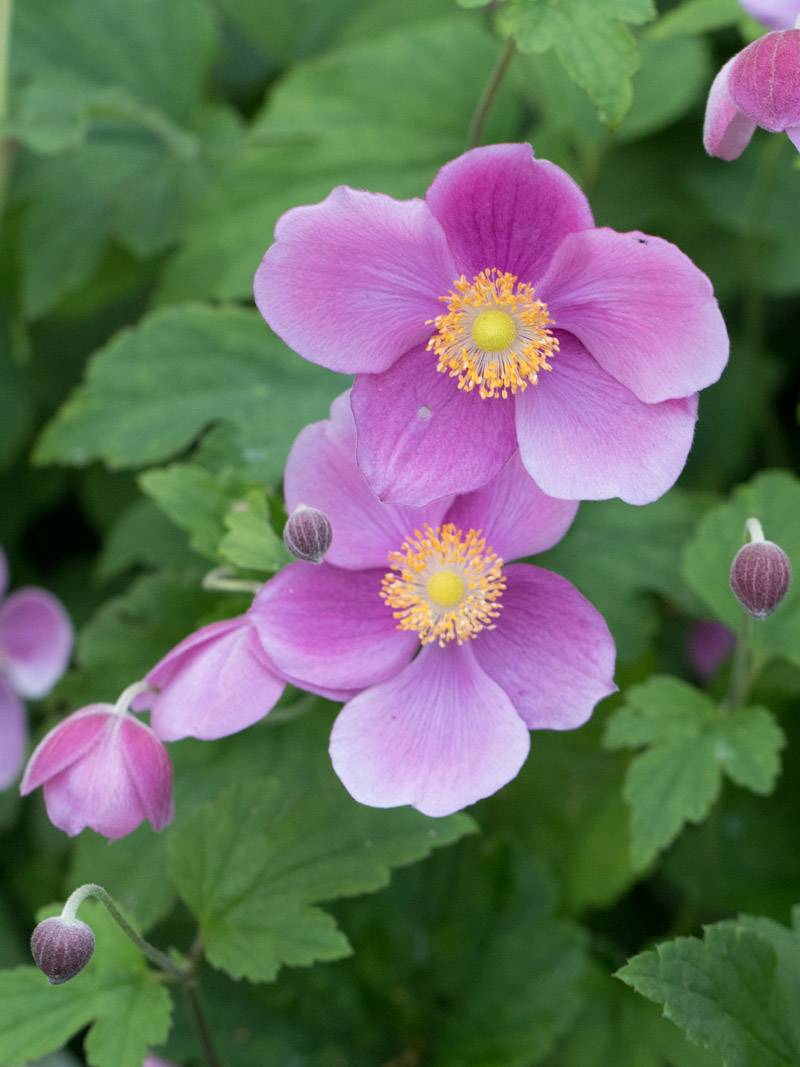 Anemone japonica 'Bowles Pink' (Herbst-Anemone)