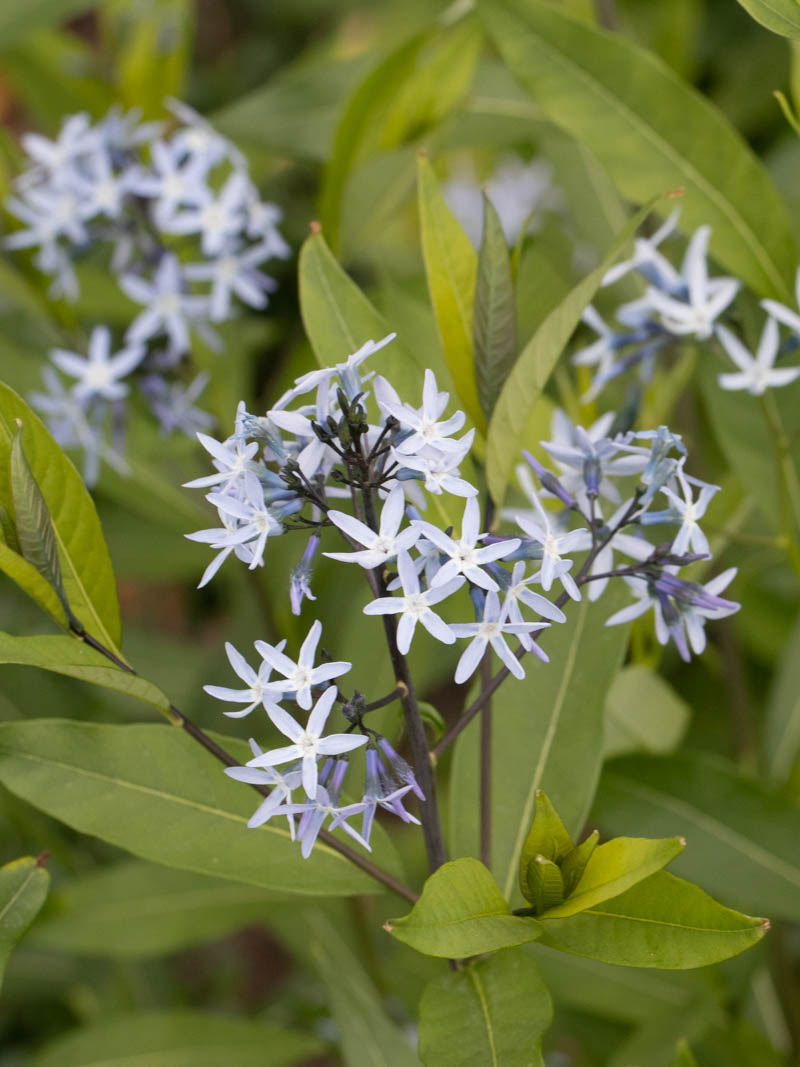 Amsonia orientalis 'Blue Ice' (Amsonie, Röhrenstern)