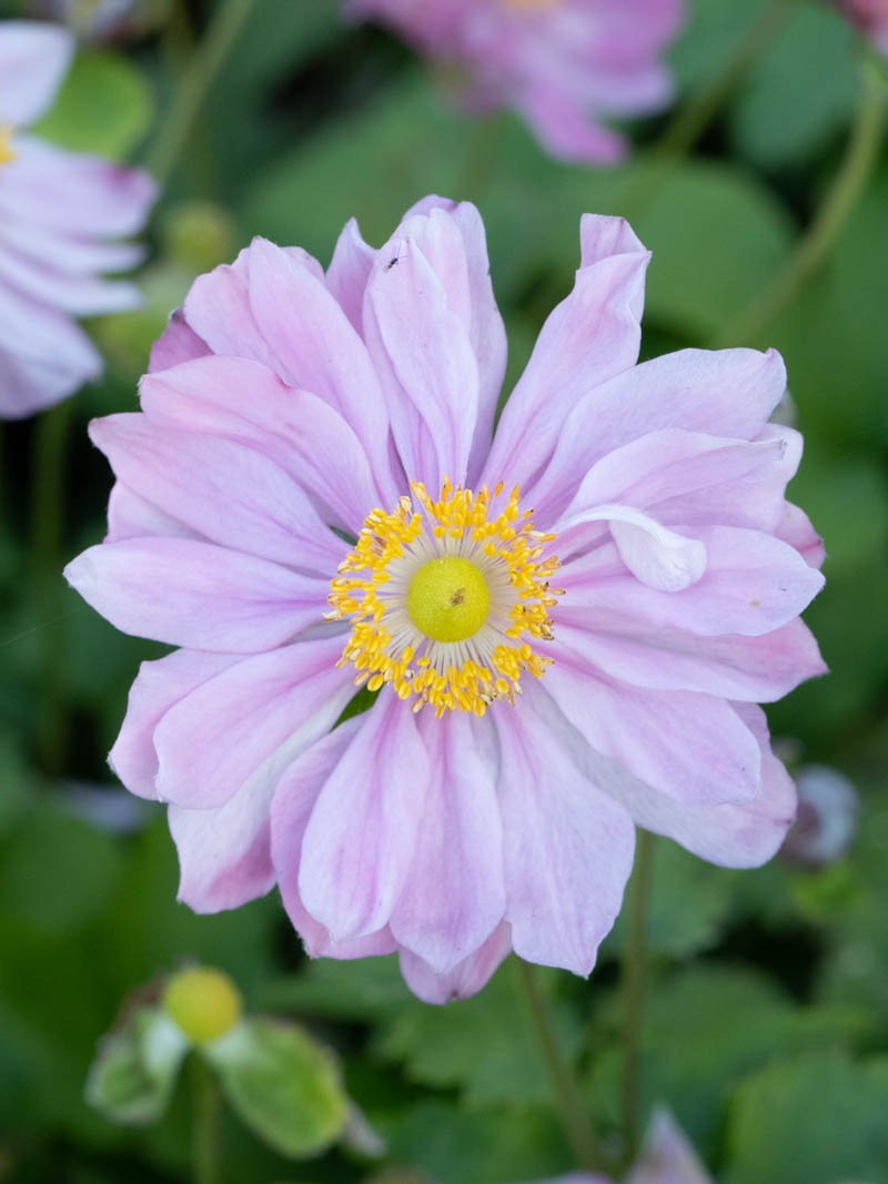 Anemone hupehensis 'Pretty Lady Emily ®' (Herbst-Anemone)