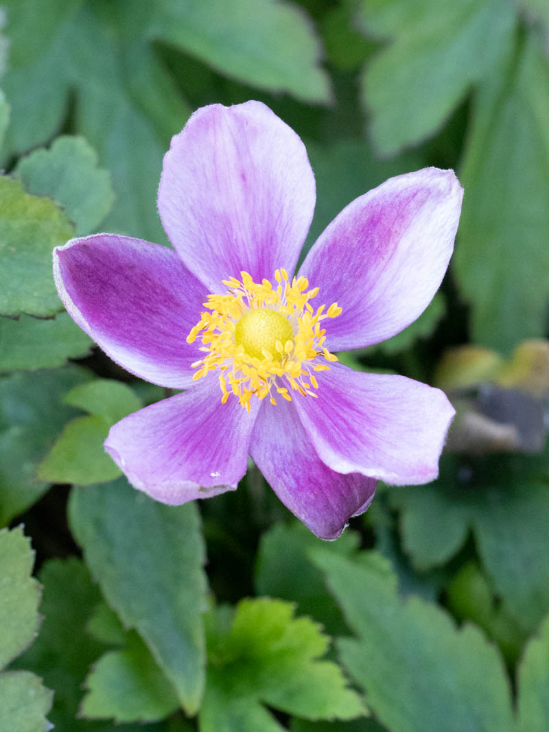 Anemone hupehensis 'Pretty Lady Diana ®' (Herbst-Anemone)