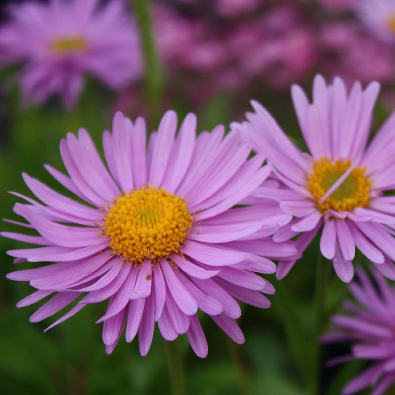 Aster alpinus 'Happy End' (Alpenaster)