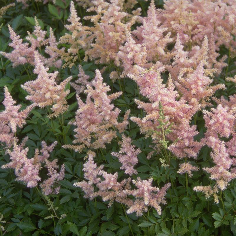 Astilbe japonica 'Europa' (Prachtspiere)