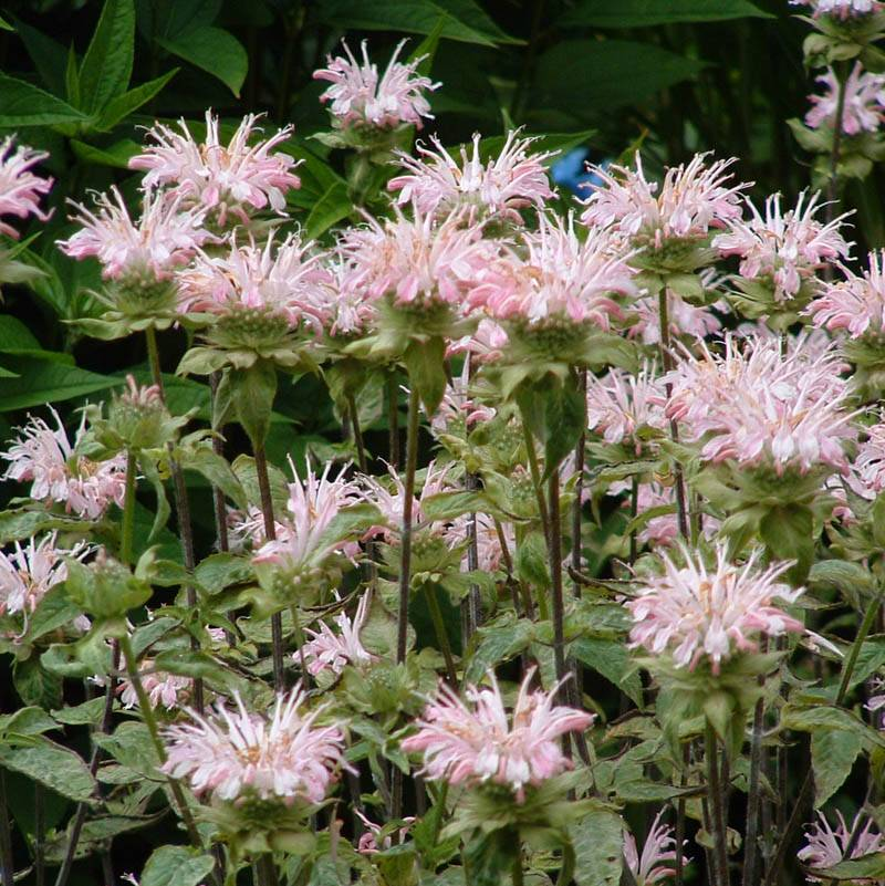Monarda fistulosa 'Fishes' (Indianernessel)
