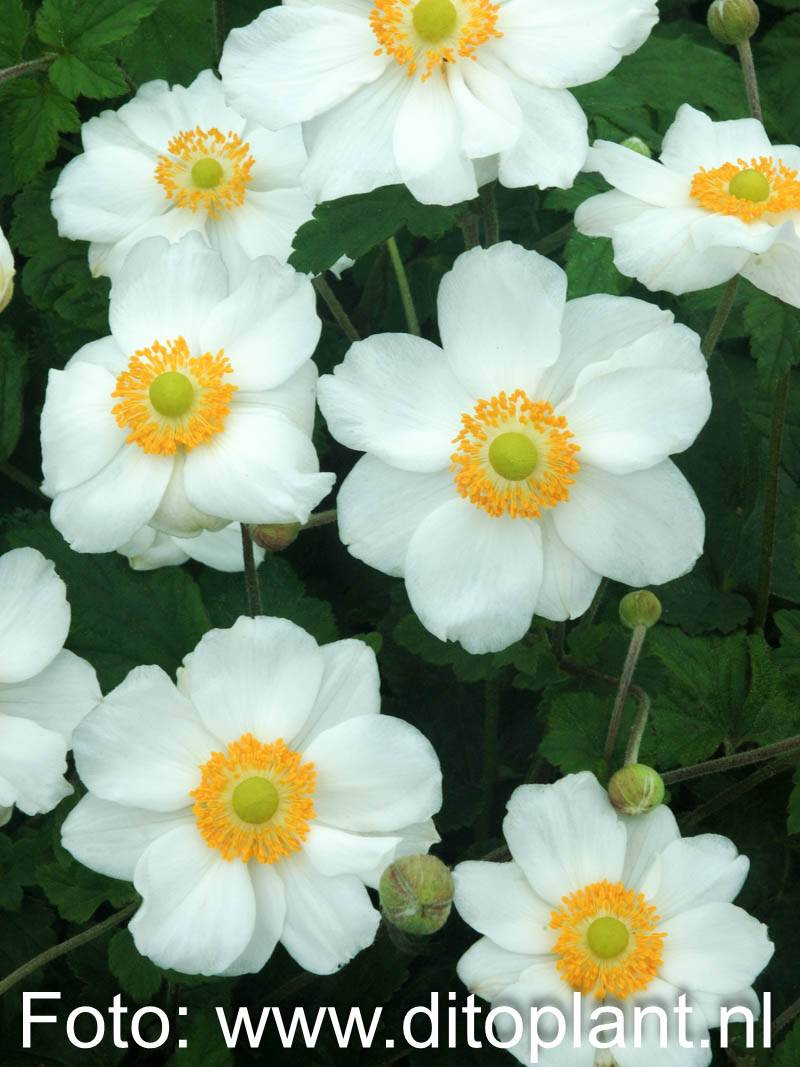 Anemone japonica 'Andrea Atkinson' (Herbst-Anemone)