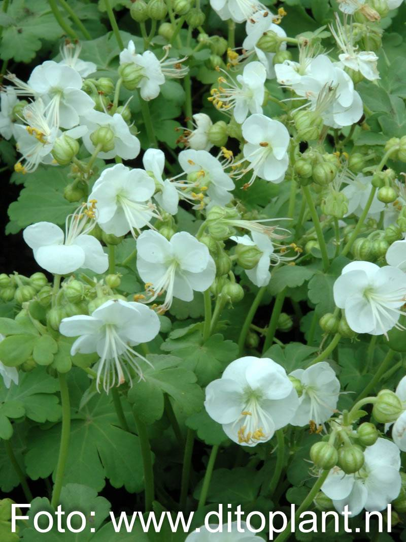stauden stade versand shop geranium macrorrhizum 39 white ness 39 balkan storchschnabel felsen. Black Bedroom Furniture Sets. Home Design Ideas
