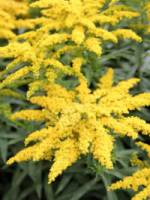 Solidago cultorum 'Strahlenkrone' Goldrute