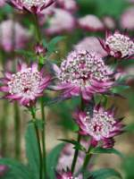 Astrantia major 'Claret' Sterndolde