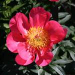 Paeonia lactiflora 'Flame' Chinesische Pfingstrose