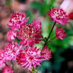 Astrantia major 'Hadspen Blood' Sterndolde