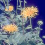 Inula magnifica Afghanistan-Alant, Riesen-Alant