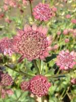 Astrantia major 'Moulin Rouge ®' Sterndolde