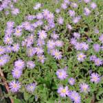 Aster amellus 'Dr.Otto Petscheck' Berg-Aster