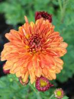 Chrysanthemum hortorum 'Bronzeteppich' Chrysantheme, Winter-Aster