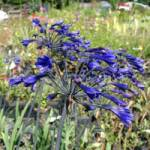 Agapanthus africanus 'Back in Black' Schmucklilie