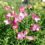Penstemon x mexicale 'Sunburst Ruby' Bartfaden