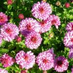Chrysanthemum hortorum 'Anastasia' Chrysantheme, Winter-Aster