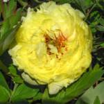 Paeonia hybrida 'Yellow Crown' Edel-Pfingstrose