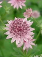 Astrantia major 'Roma ®' Sterndolde