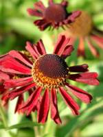 Helenium cultorum 'Ruby Tuesday ®' Sonnenbraut