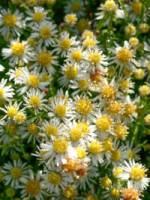 Aster ericoides 'Golden Spray' Myrten-Aster, Septemberkraut
