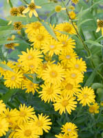 Chrysopsis speciosa (villosa) 'Golden Sunshine' Gold-Aster, Gold-Auge