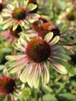 Echinacea purpurea 'Green Envy ®' Purpursonnenhut