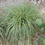 Carex oshimensis 'Evergold' Gold-Segge