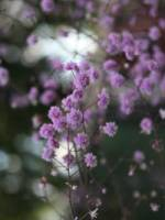 Thalictrum delavayi 'Hewitts Double' China-Wiesenraute