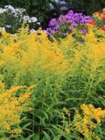 Solidago cultorum 'Goldenmosa' Goldrute