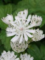 Astrantia major 'White Giant ®' Sterndolde