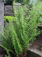 Dryopteris affinis 'Cristata The King' Goldschuppen-Farn