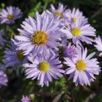 Aster laevis 'Calliope' Glatte Aster (Syn. Symphyotrichum laeve)