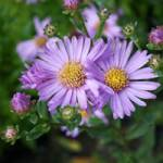 Aster amellus 'Lady Hindlip' Berg-Aster