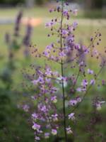 Thalictrum delavayi China-Wiesenraute
