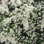 Aster pansus 'Snowflurry' Teppich-Aster