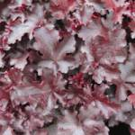 Heuchera micrantha 'Black Beauty ®' Purpurglöckchen