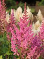 Astilbe chinensis 'Visions in Pink ®' Lanzenspiere