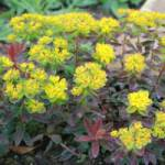 Euphorbia polychroma 'Bonfire ®' Gold-Wolfsmilch
