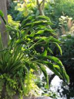 Hosta cultorum 'Praying Hands' Funkie, Herzblatt-Lilie