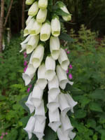 Digitalis purpurea 'Alba' Fingerhut