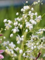 Thalictrum delavayi 'Splendide White ®' China-Wiesenraute