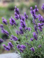 Lavandula angustifolia 'Twickel Purple' Garten-Lavendel